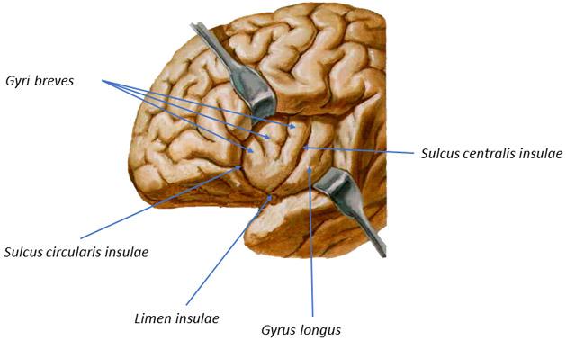 Morfologija velikog mozga