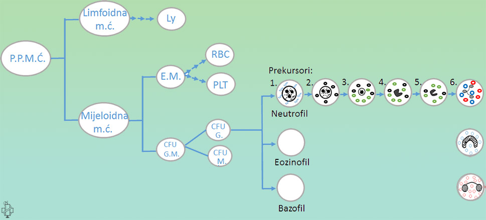 granulopoeza, maticna celija, limfociti, granulociti, monociti, eritrociti, trombociti, mijeloidna maticna ćelije, neutrofili, eozinofili, bazofili