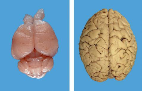 mis, mozak, covek, evolucija, mozak u posudi