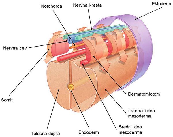 notohorda, nervna kresta, ektoderm, nervna cev, somiti, dermatomiotom, endoderm