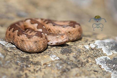 poskok, zmija