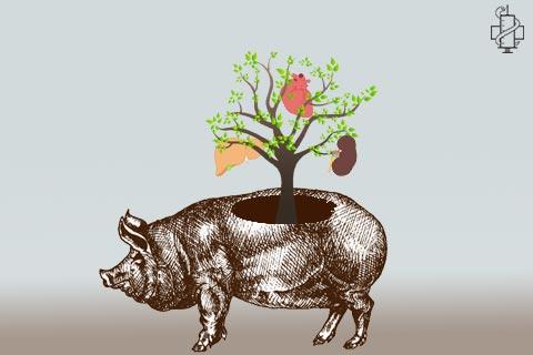svinje, srce, bureg, jetra, organi, inzenjering, studiranje