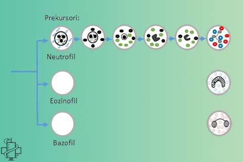 Sazrevanje leukocita, neutrofili, eozinofili, bazofili, maticna celija