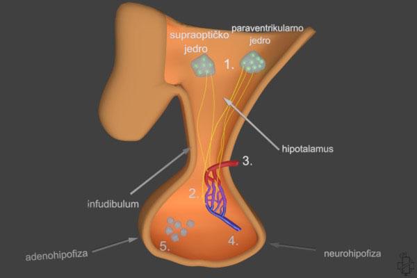 hormoni hipofize, hormon rasta, kortikotropni horomon, tireotrpni hormon, luteinizirajuci hormon, folikostimulisuci hormon, prolatktin