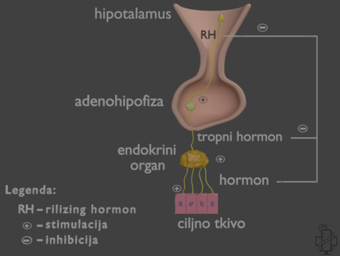 regulacija sekrecije hormona, hormon,hipotalamus, serotonin, rilizing hormon, zlezda, endokrina, adenohipofiza