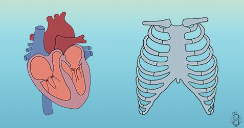 anatomija srca, mali krvotok, krvotok, kardiovaskularni sistem