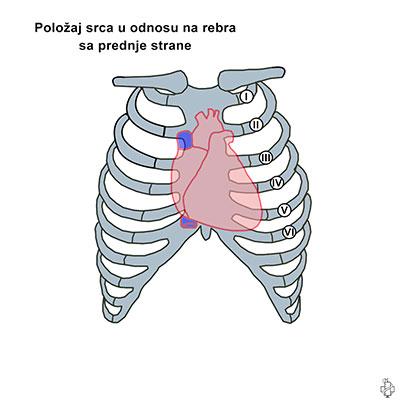 srce, anatomija srca, rebra, aorta, auskultacija srca, slusanje srca, srcana senka