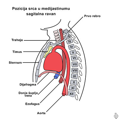 srce, anatomija srca, endokard, miokard, epikard, visceralni, srcana maramica, medijastinum, aorta, jednjak, dijafragma