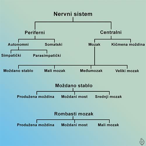 nervni sistem, podela, centralni nervni sistem, periferni nervni sistem