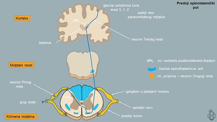 Spinotalamički put, putevi povrsnog senzibiliteta, prednjispinotalamički put, spoljašnji spinotalamički put, tractus spinothalamicus anterior, tractus spinothalamicus lateralis, neuron prvog reda, neuron drugog reda, neuron treceg reda, vpl, talamus, glavna senzitivna kora, korteks, kicmena mozdina, pons, area 1, spinalni nerv, centralni nervni sistem, cns, gudović, edingerov put