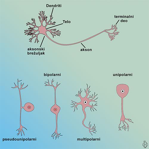 nervni sistem, vrste neurona, unipolarni, pseudounipolarni, multipolarni, cns, anatomija, aksoni, dendriti, bipolarni neuroni