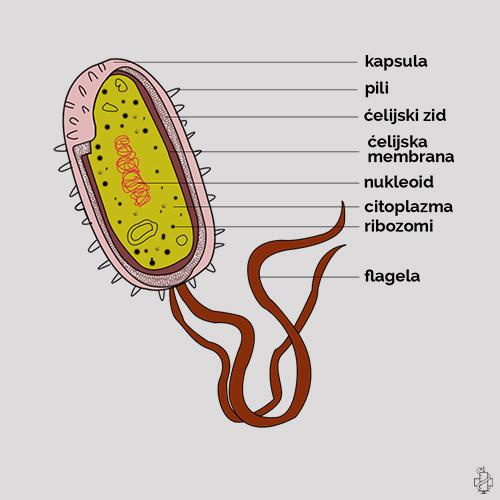 Escherichia coli, flagela, eserihija, ešerihija, pili