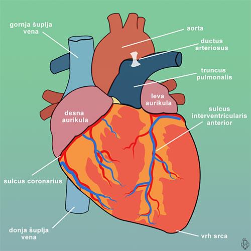srce, gornja šuplja vena, donja šuplja vena, aorta, truncus pulmonalis, sulcus coronarius, vrh srca, sulcus interventricularis anterior