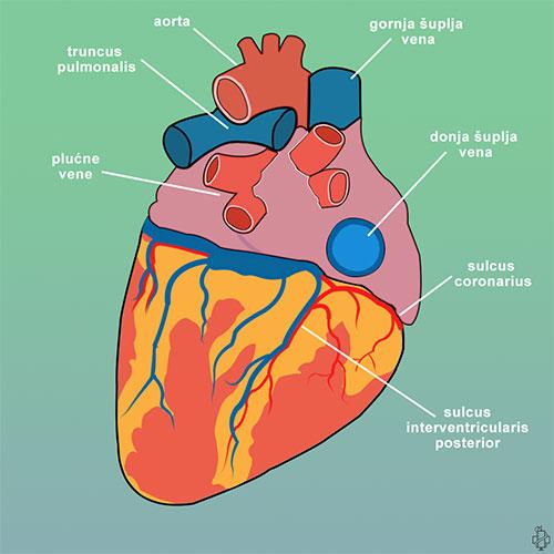 srce, gornja šuplja vena, donja šuplja vena, aorta, truncus pulmonalis, sulcus coronarius, vrh srca, sulcus interventricularis posterior